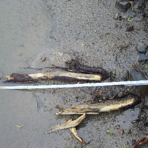 Grobwurzel-Abrisse an alter Linde, Teilschaden